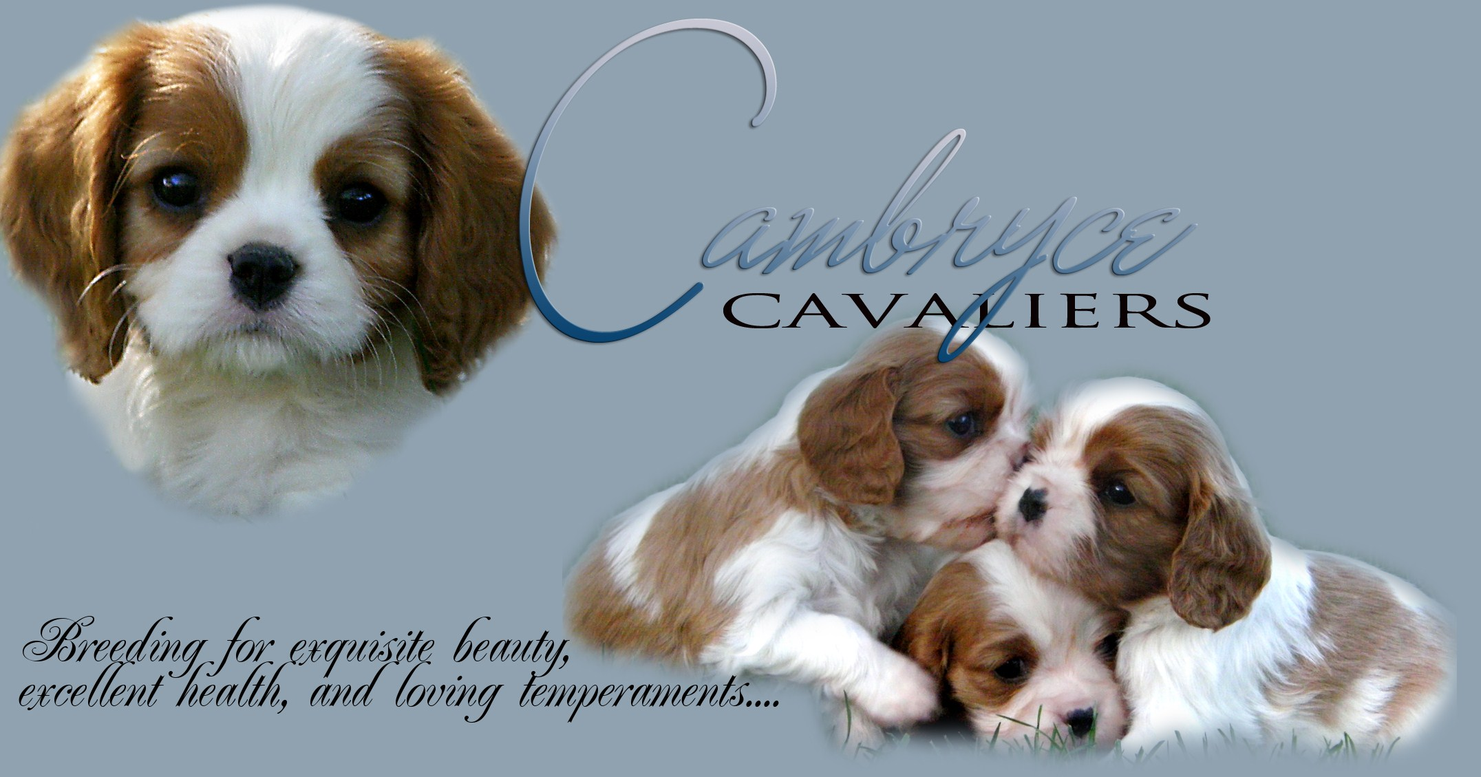 Cambryce Cavalier King Charles Spaniel puppies and dogs in Tucson Arizona.